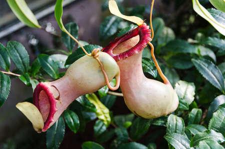 Carnivorous plants of the genus Nefenthes kann rank genus photo