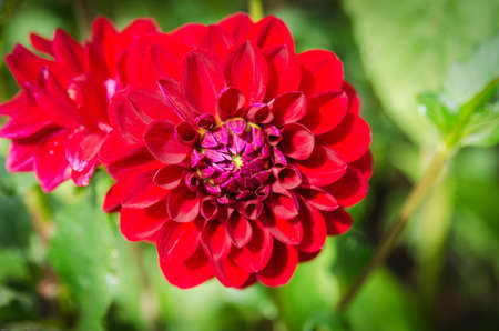 ead: one red and lovely flower from the familty dahlia beutiful color