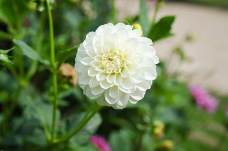 one lovely flower white and beutiful from the family dahlia