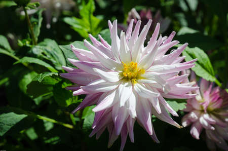 regalia: beutiful dahlia the name is Alvas regalia  lovely color
