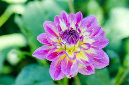 rundale: One lovely flower from the family dahlia the name is Rundale