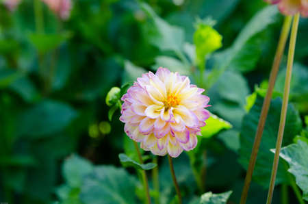 vino: one beutiful flower in family dahlia the name is Hapat vino
