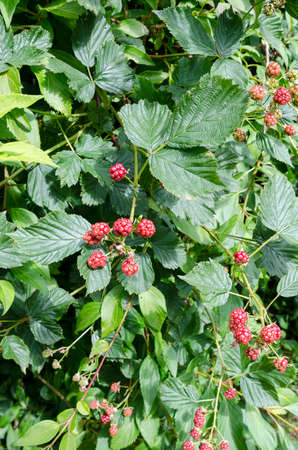 sone: one bush with unriped blackberry sone they ar riped