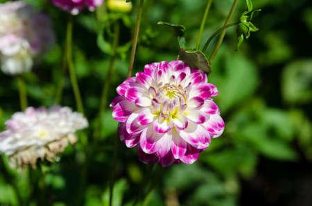 flori culture: one lovely flower from the family dahlia name is Raibais Joks