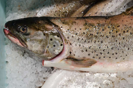 salmonidae: A big fish on ice its a Salmon a great fish to eat Stock Photo