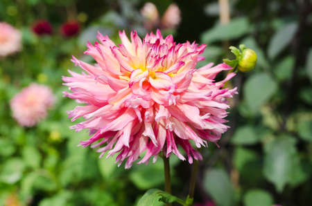 ead: a very lovely flower with great color it s from the family dahlia