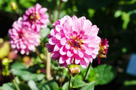 satelite: pink satelite a very beutiful flower in the family dahlia