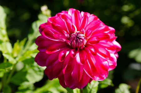 ead: One  lovely flower in family dahlia the name is Raibas joks