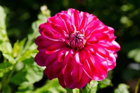 ead: One  lovely flower in family dahlia the name is Raibas joks