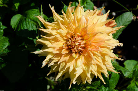 dalia: one great flower from the family dahlia the name is Go America