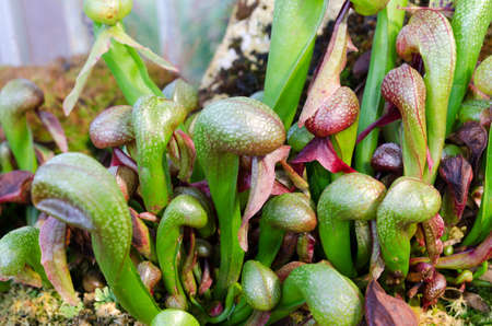 insectivorous plants: Darlington California one carnivorous plant that eats fly and other insect Stock Photo