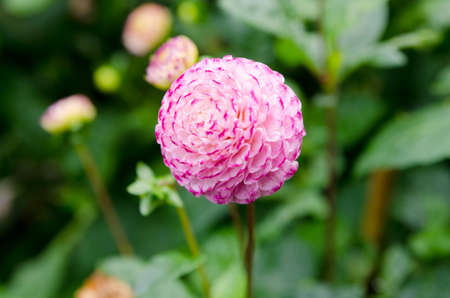 one great and beutiful dahlia Pomponwhite and pink Stock Photo