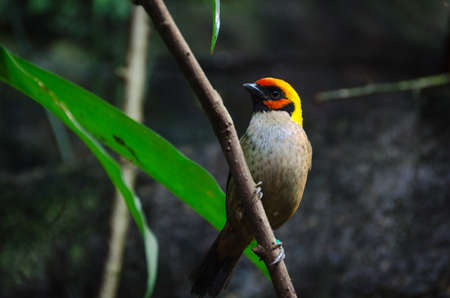 one lovely and noisy exotic bird many buetiful color Tangara