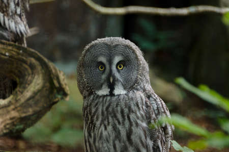 one great grey owl watching at my camera Stock Photo