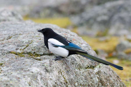 one lonely magpie standing on the stone and watching