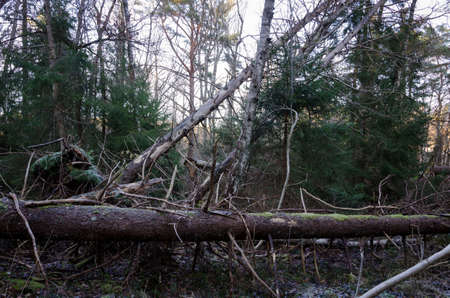 falling trees after a very big and windy storm