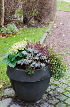 alchemilla: one lovely garden pots with autumn flower and plants