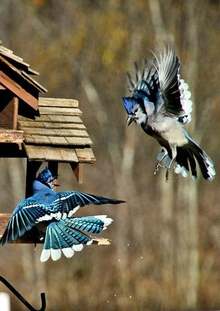 bluejay: Eastern Blue Jays in flight, territorial dispute