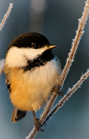 black capped chickadee on frosty branch Imagens
