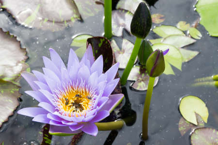 hardy: Hardy water-lily, lotus with green leaf on a water