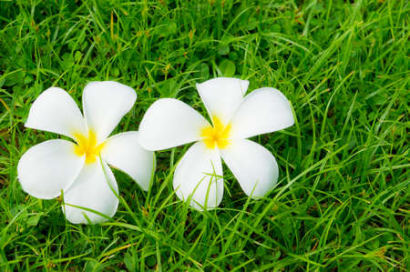 plumerias: Plumerias on a green grass