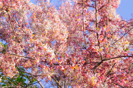 Pink Cassia, Pink Shower on their branch photo