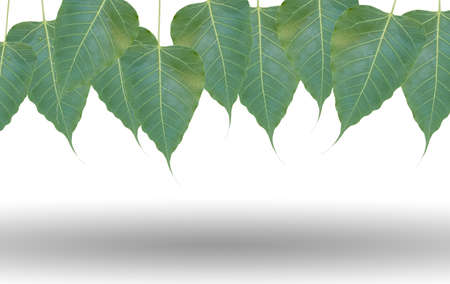 peepal tree: green leafs bodhi tree on white background with shadow under
