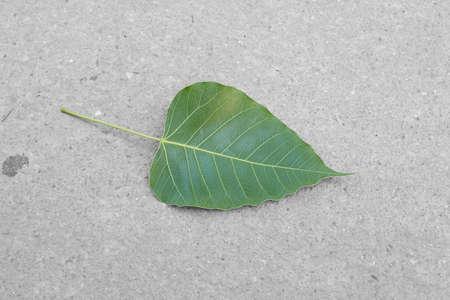 peepal tree: green leafs bodhi tree on concrete floor Stock Photo