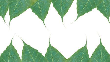 peepal tree: green leafs bodhi tree on white background