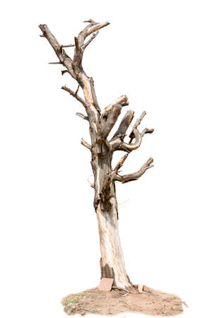 withered tree and cracked bark, isolate on white background photo