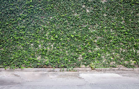 creeping: Coatbuttons creeping on the wall beside the road, Creeping rubber plant