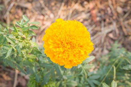 garden marigold: marigold flower blooming in the garden