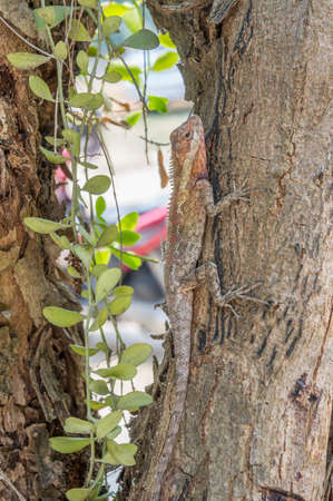 to conceal: agamidae, lizard on tree, conceal in nature
