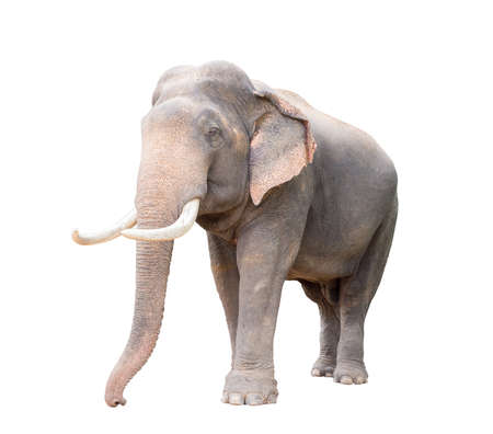 asia elephant isolated on white background with clipping path