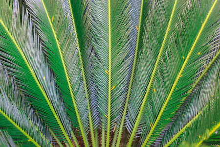 dioecious: Cycas revoluta green leaves abstract natural background Stock Photo