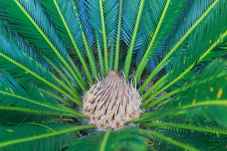 dioecious: center of Cycas revoluta growing plant with green leaves, selective focus