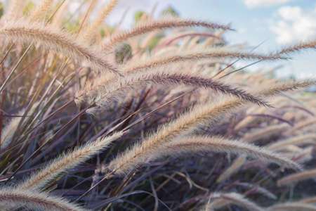 grass flower: brown grass flower field with vintage tone and sun light, selective focus Stock Photo