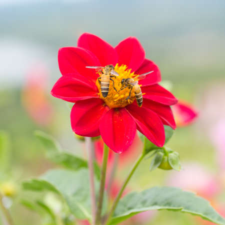 red mexican sunflower with yellow pollen and bees, selective focus