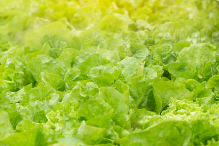 Field of Chinese cabbage with green leaves and water drop, sunlight above, selective focus