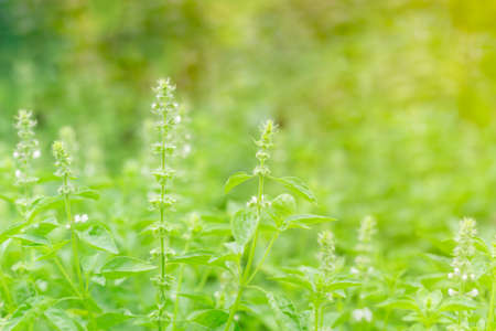 field of holy basil with green leaves, flower and petal blooming