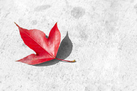 red maple leaf on concrete black and white background, selective focus