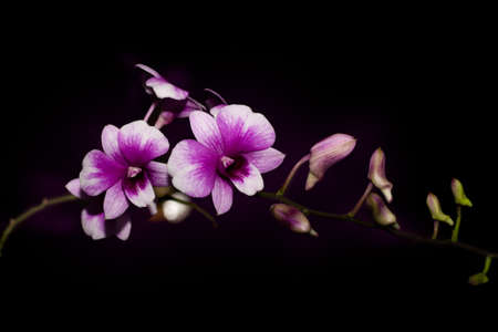 purple orchids isolated on black background with bokeh grow in the dark Stock fotó
