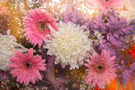 white and pink Chrysanthemum flower with growing light background, Dendranthemum grandifflora Stock fotó