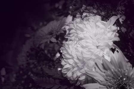 white Chrysanthemum flower with dark purple background, Dendranthemum grandifflora, selective focus