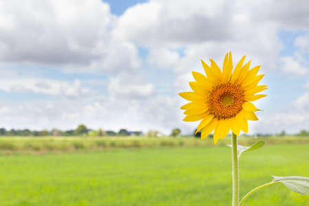 sunflower with rice field, cloud and sky background