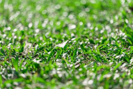 axonopus compressus, savanna, carpet grass with bokeh background, selective focus Stock fotó