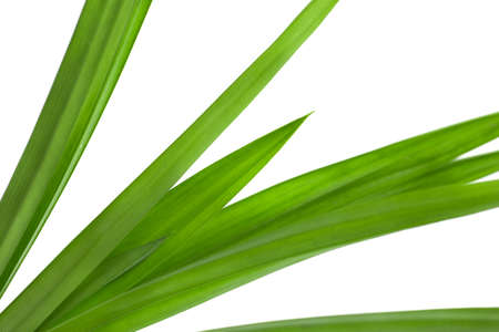 natural single pandan leaves isolated on white background with selective focus