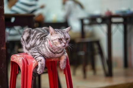 Beautiful grey cat on a red stool Standard-Bild