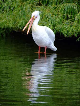 morass: Pelican with open beak