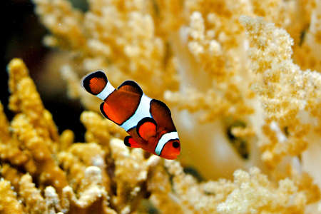 live coral: Orange Percula clown fish in tropical aquarium